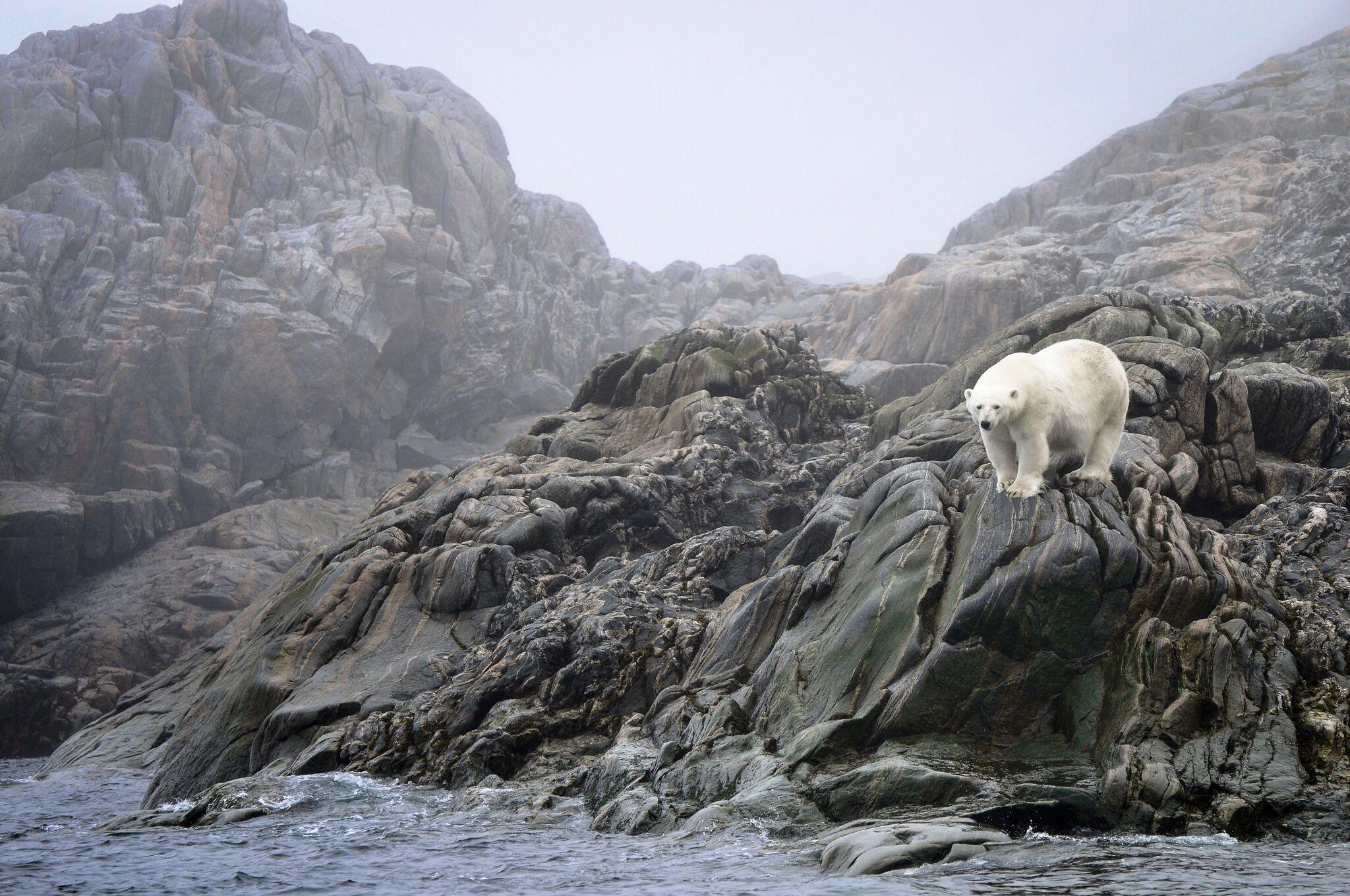 a curious polar bear