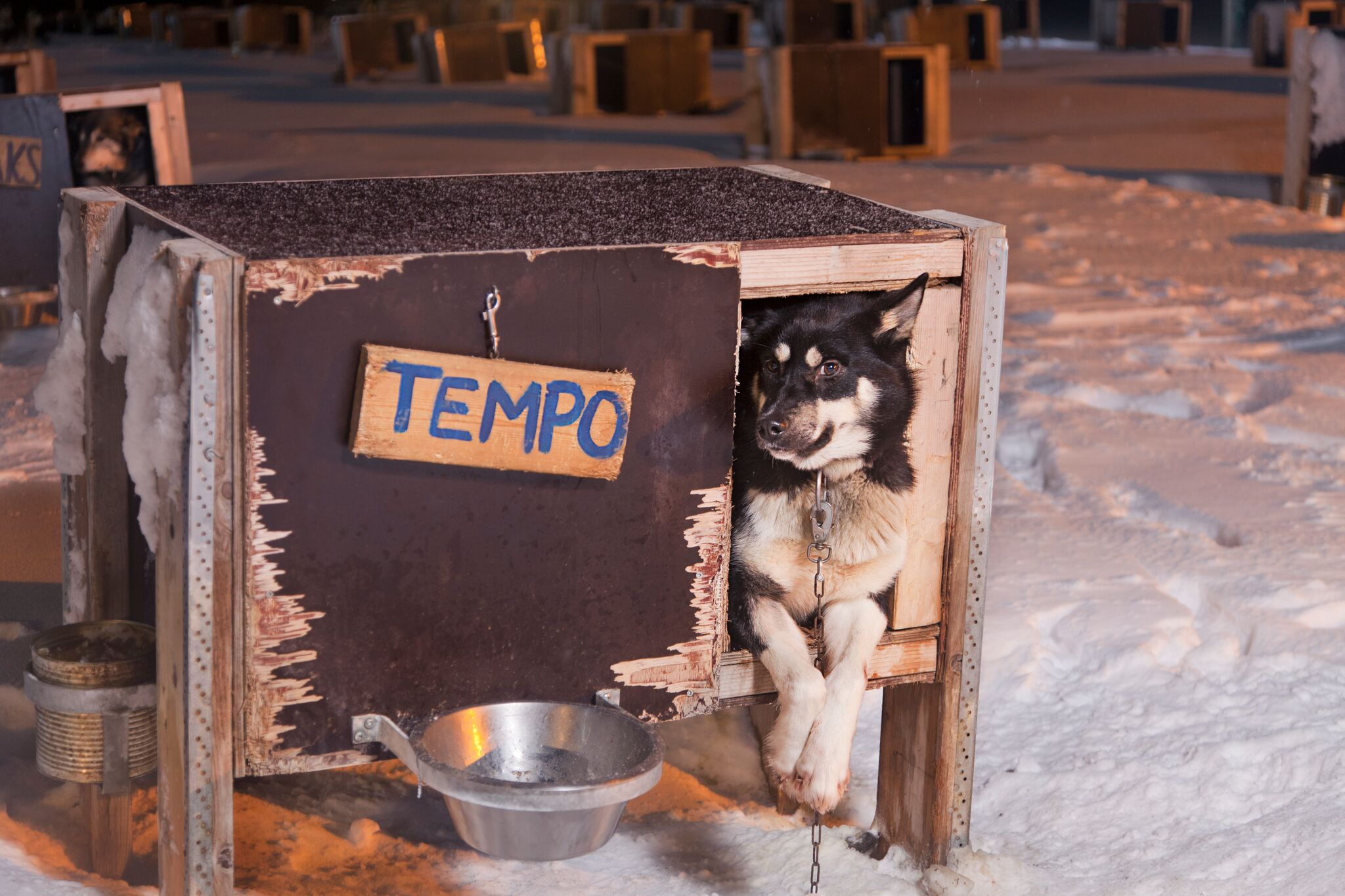 Dog Sledding in the Arctic - The dogs are loved and very well looked after