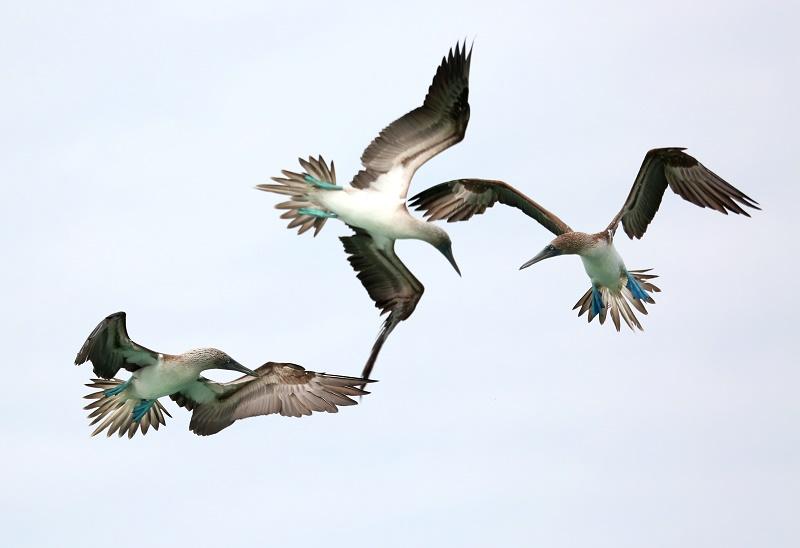 flying-boobies