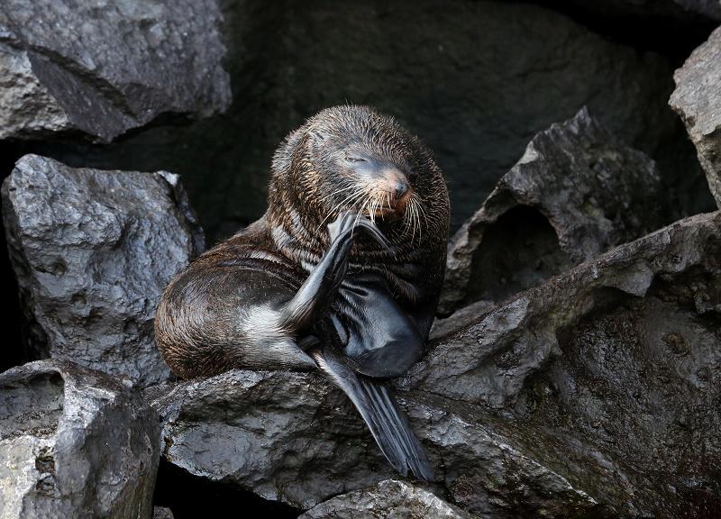 fur-sea-lion
