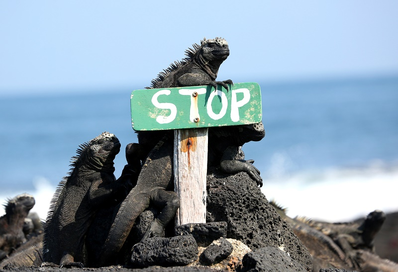 iguana-and-stop-sign