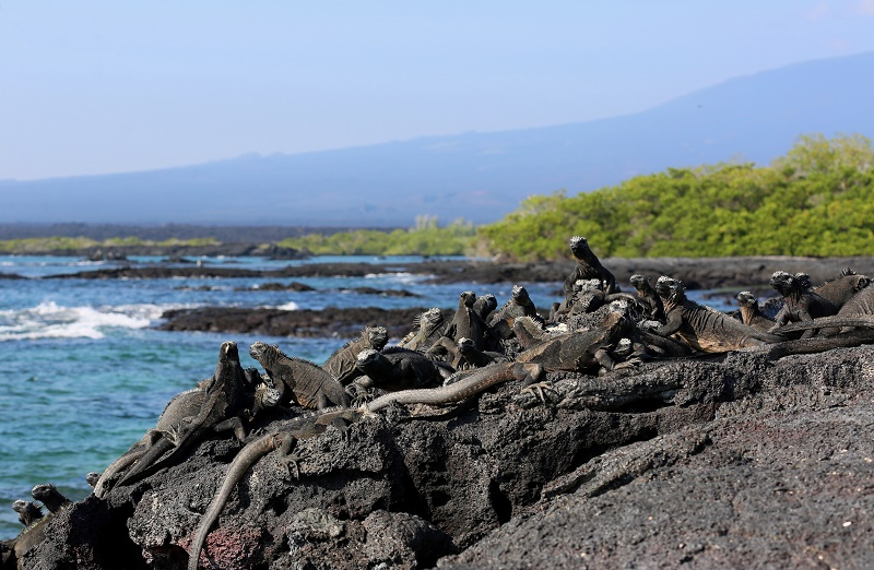 lots-of-iguanas