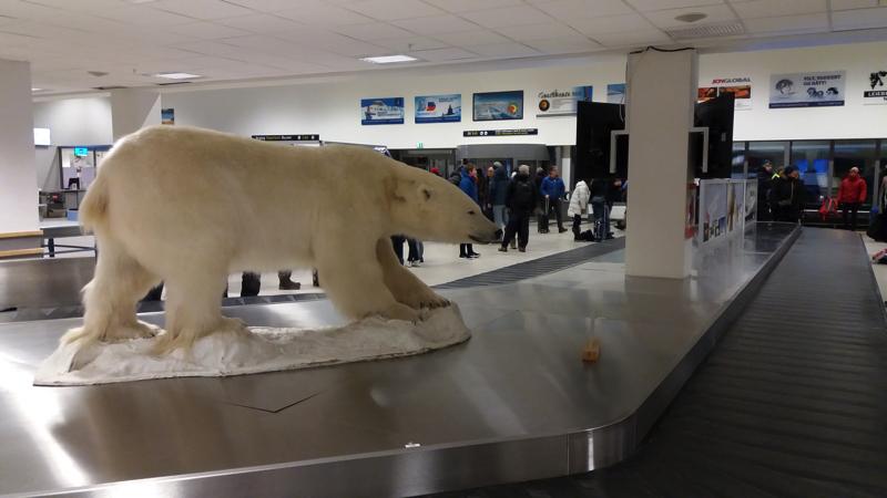 Day 1 Polar bear at Longyearbyen airport