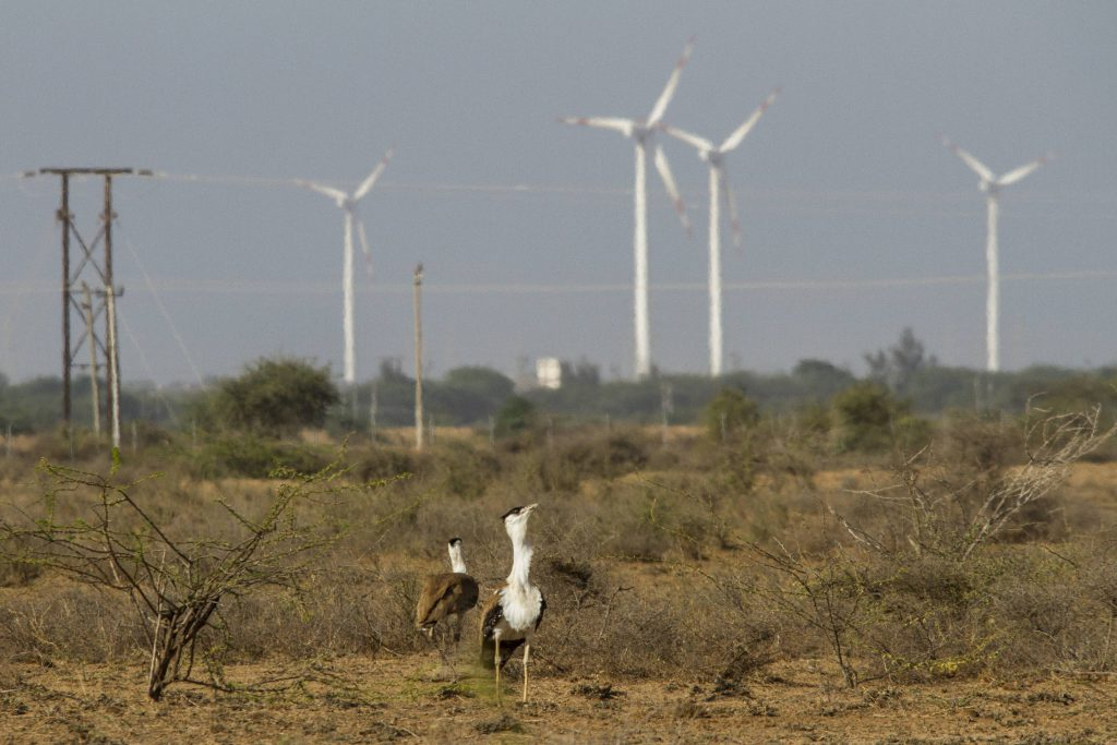 Two male Great Indian Bustards facing wind mill threats in India's Gujarat