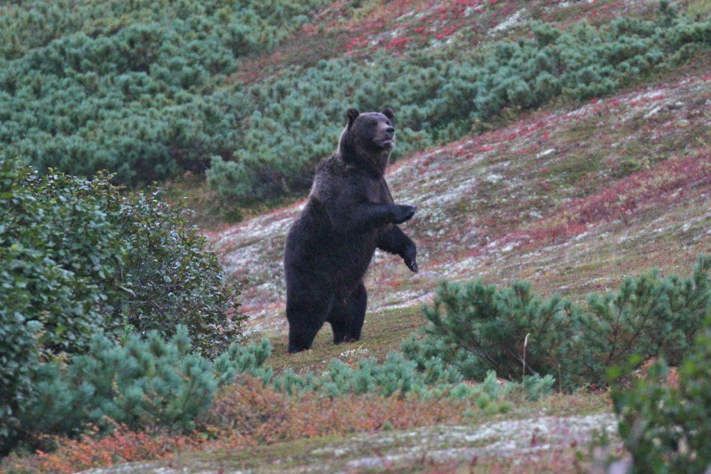 A massive brown bear