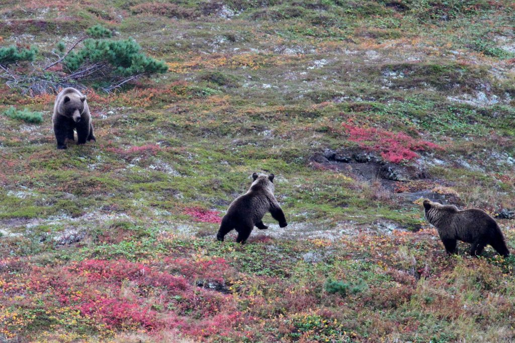 Wherever we make shore, brown bears await. Unfamiliar with people, they keep their distance