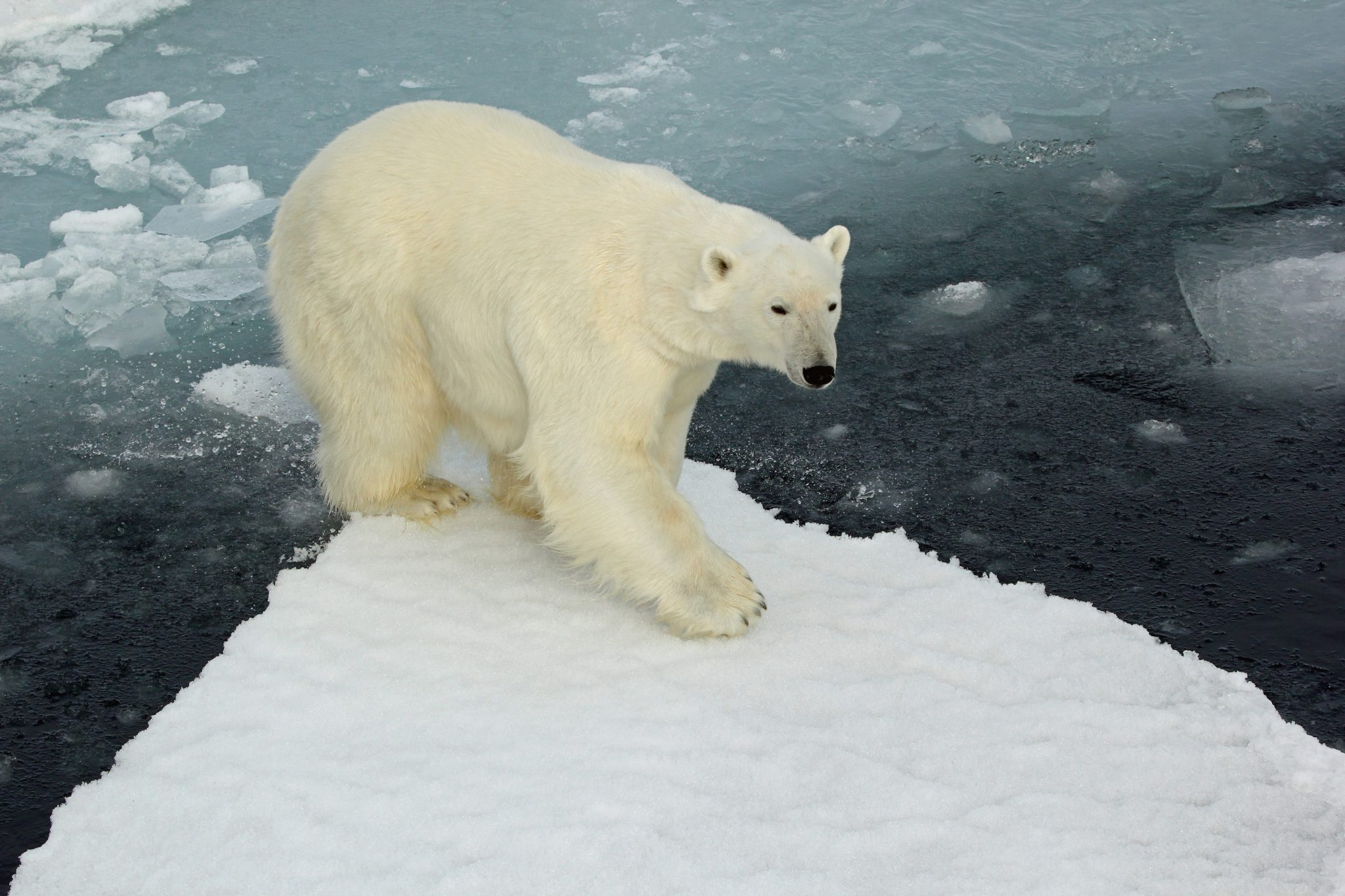 Polar Bear Photo taken by Brian Clasper