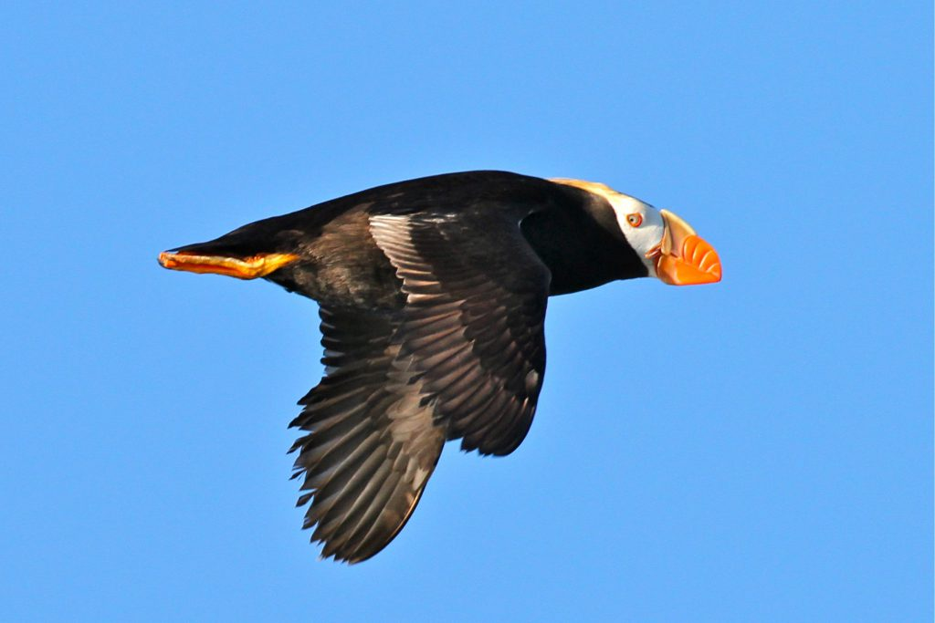 A Tufted Puffin passes by amid the constant flow of natural airborne traffic