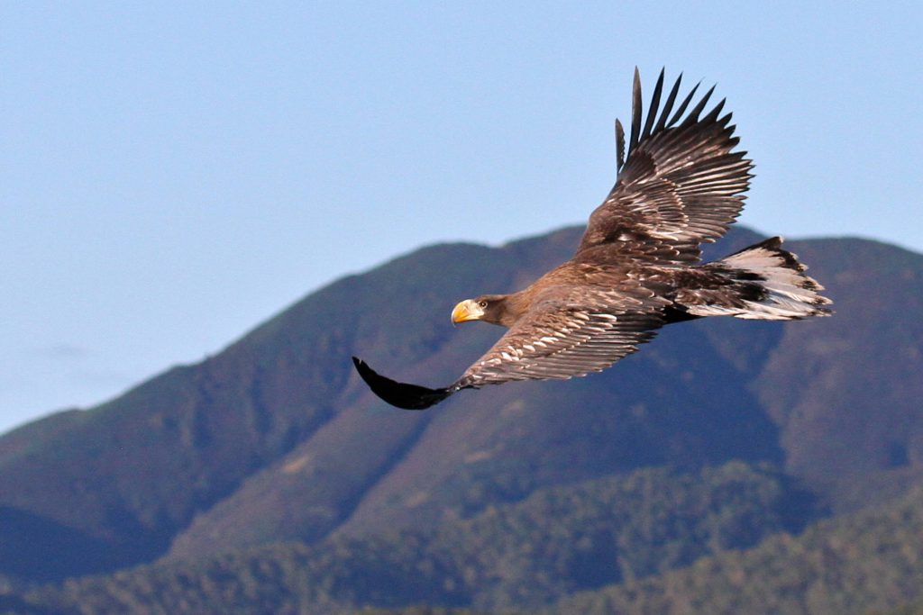 a sea eagle in flight