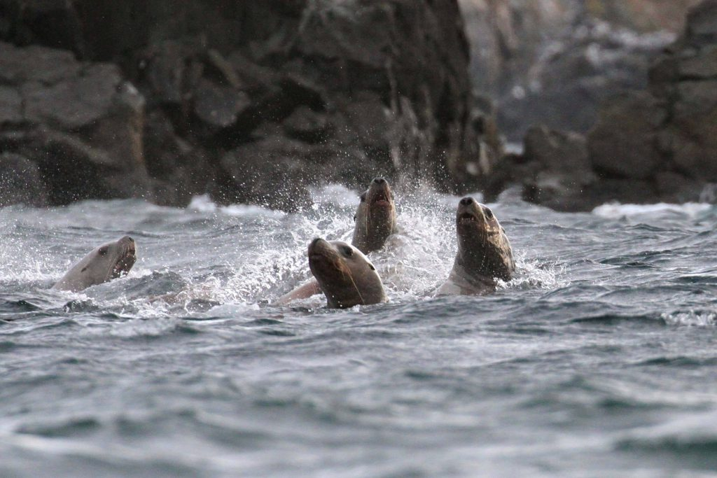 Steller's sea lions frolicking in the water