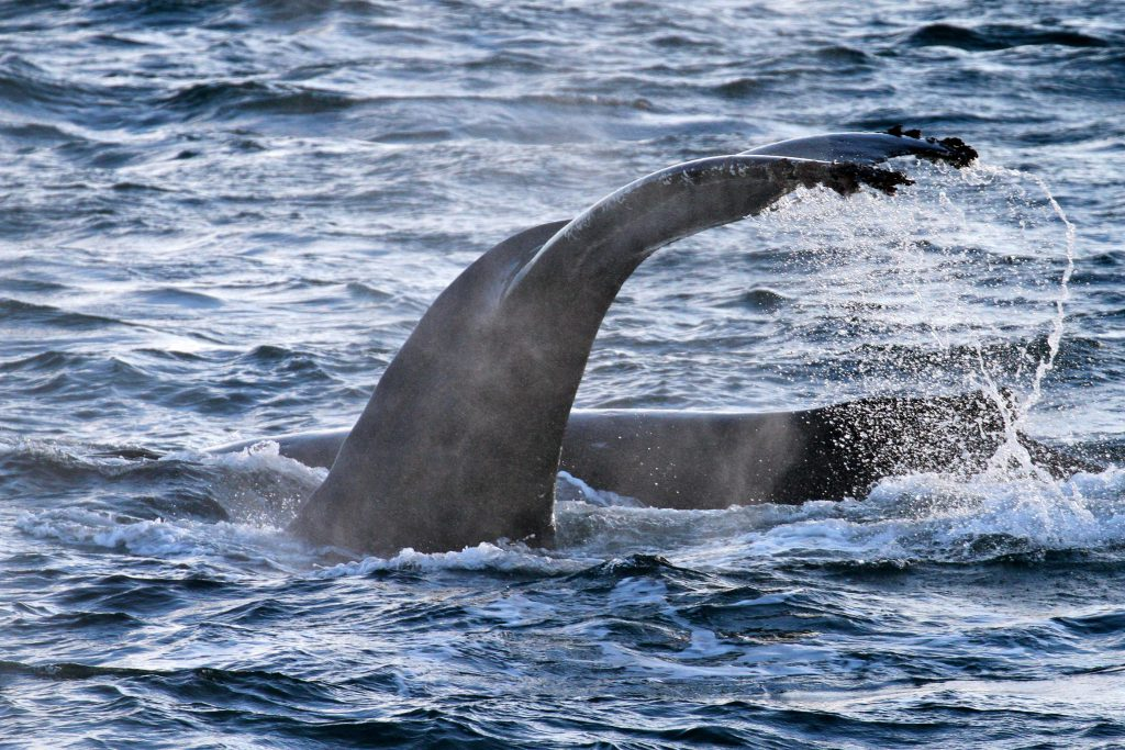 The Tail Fluke of Whale taken from the the Spirit of Enderby.
