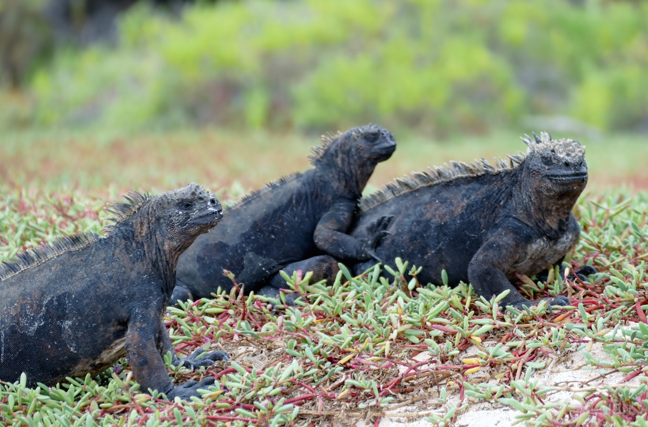Lizards on the Galapagos Ecuador Wildlife Spectacular Cruise
