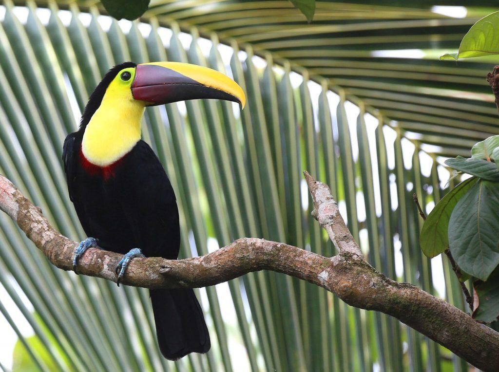 Costa Rican Toucan