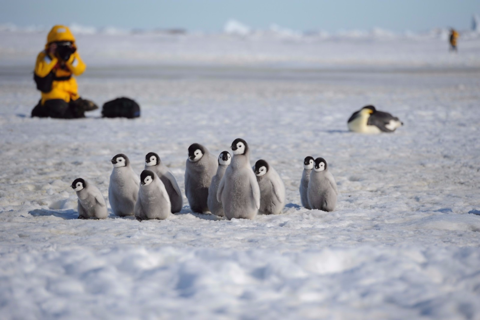Young Emperor Penguin chicks