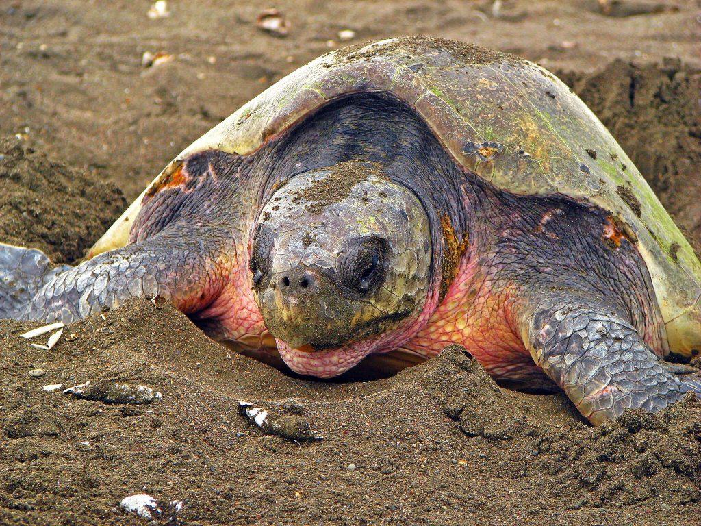 Tortuguero turtle
