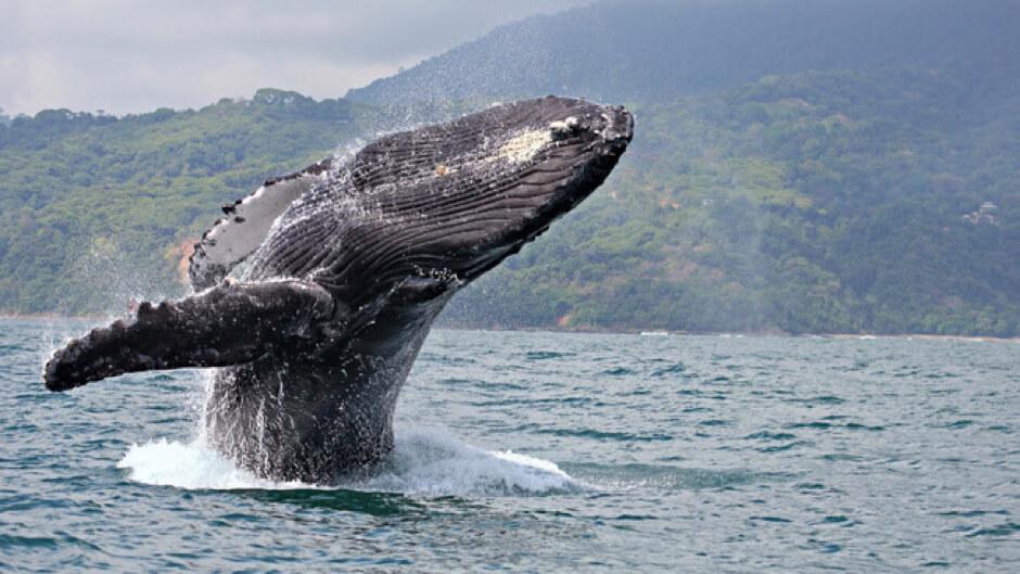 A humpback whale breaching off the coast of costa rica