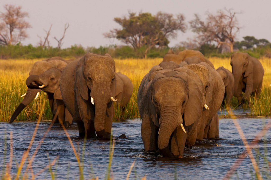 A herd of elephants cooling off with a swim