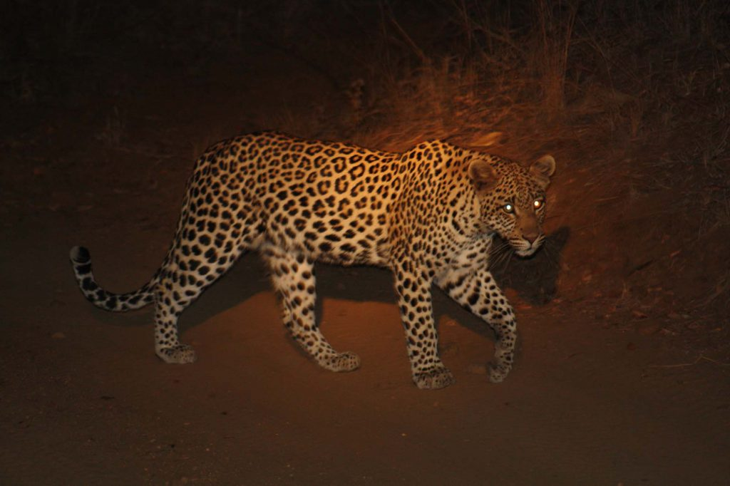 A great view of a leopard