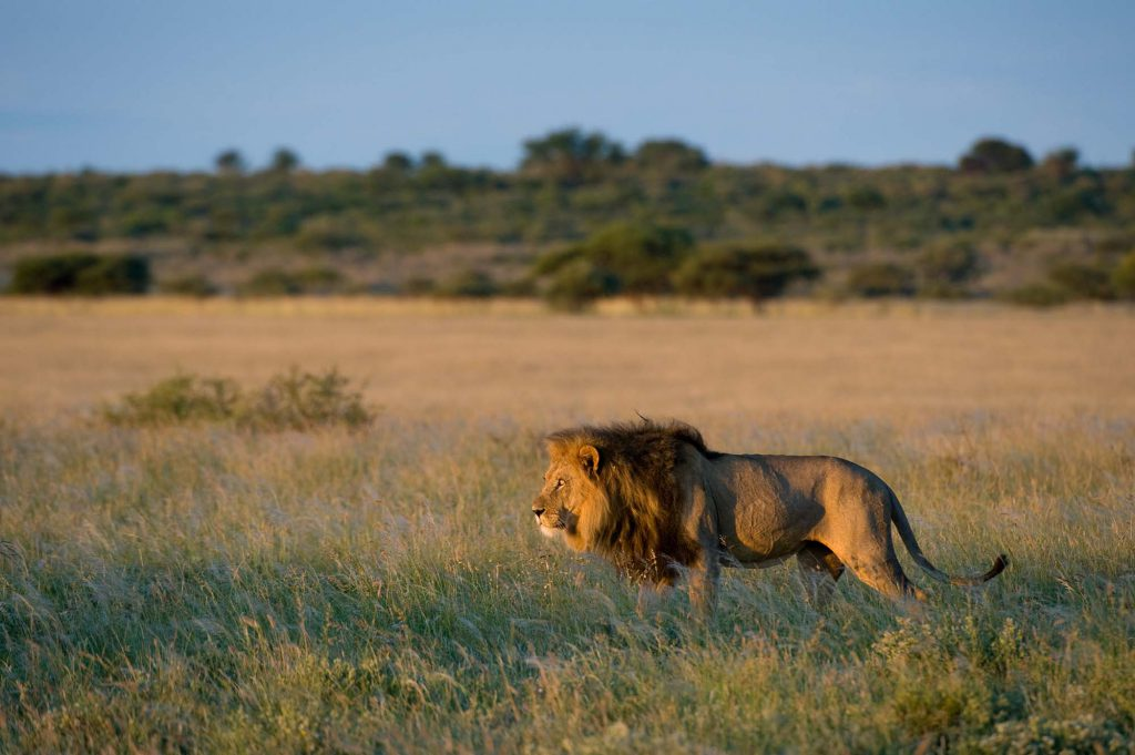 A male lion photographed on safari