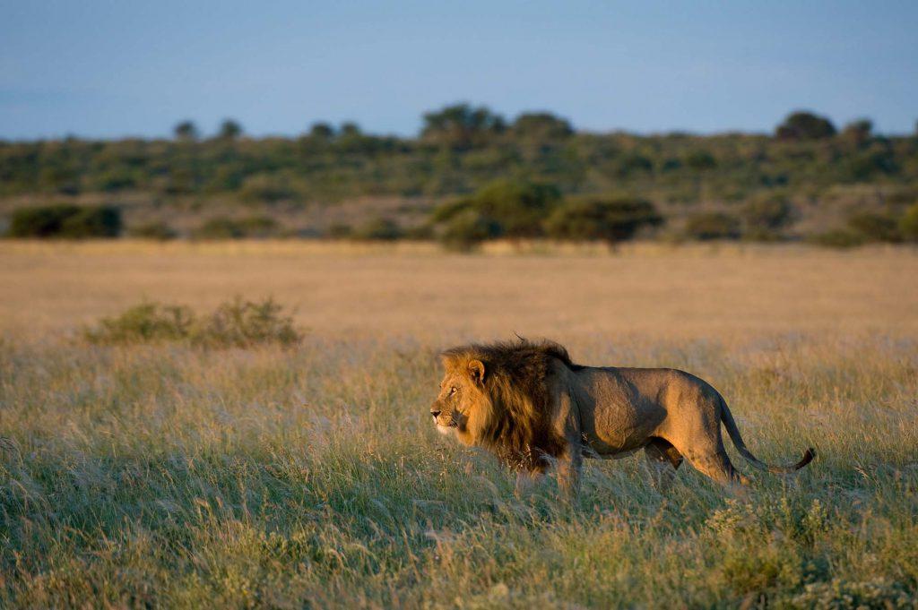 A male lion photographed on safari