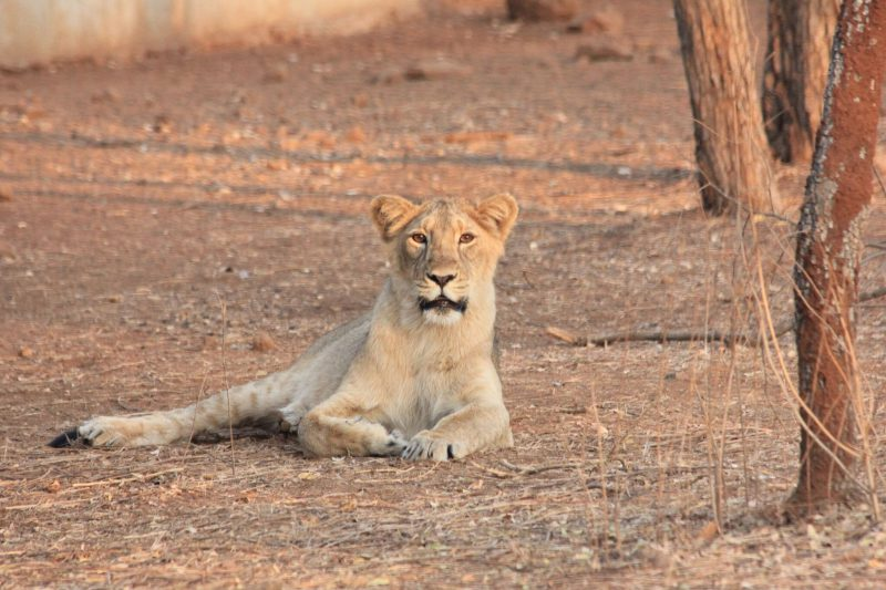 A young lioness in Sasan Gir National Park & Sanctuary
