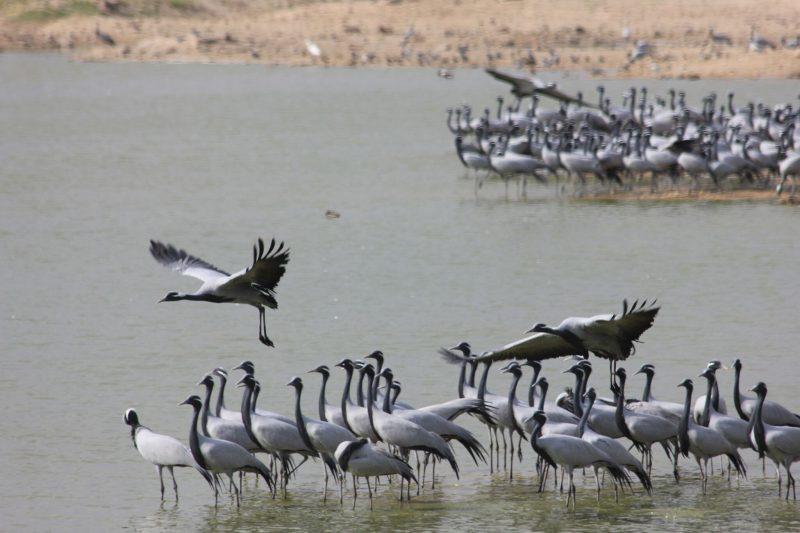 demoiselle cranes in the wetlands