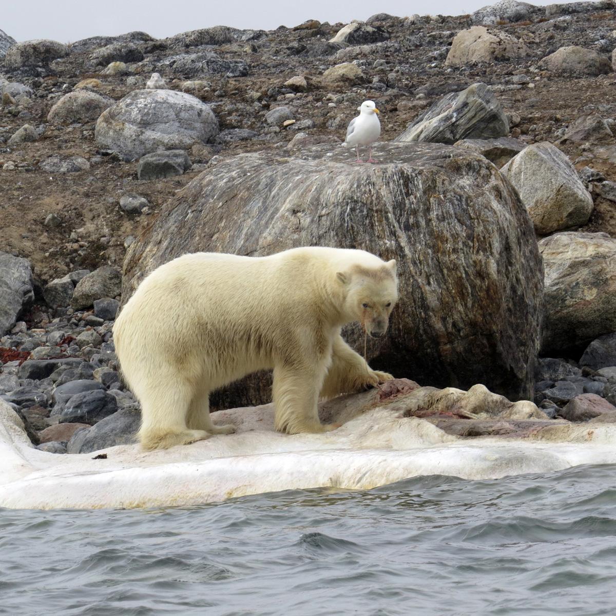 a polar bear hunting on the arctic shoreline