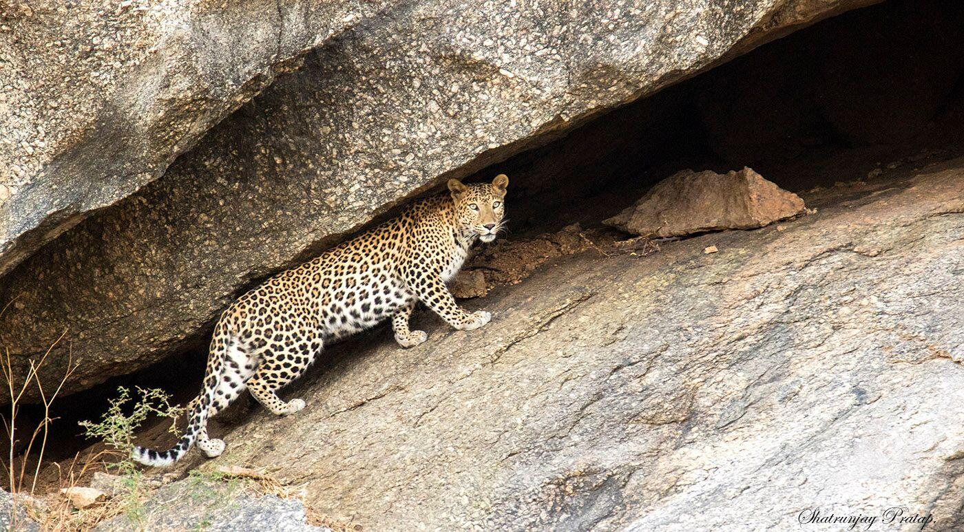 Leopards in Bera Region are a literally breathtaking sight.