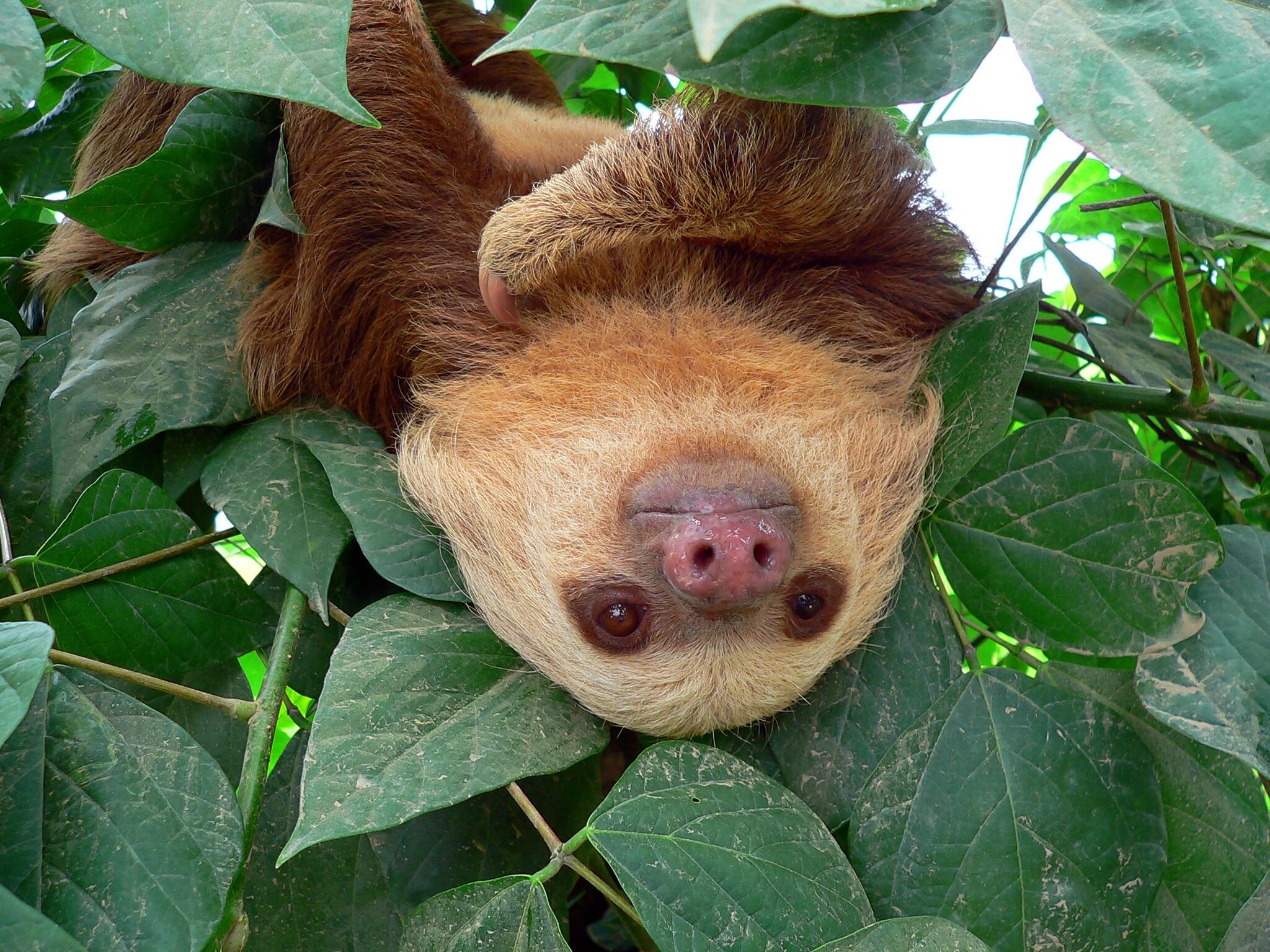 sloth hanging from a tree in the rain forest of costa rica