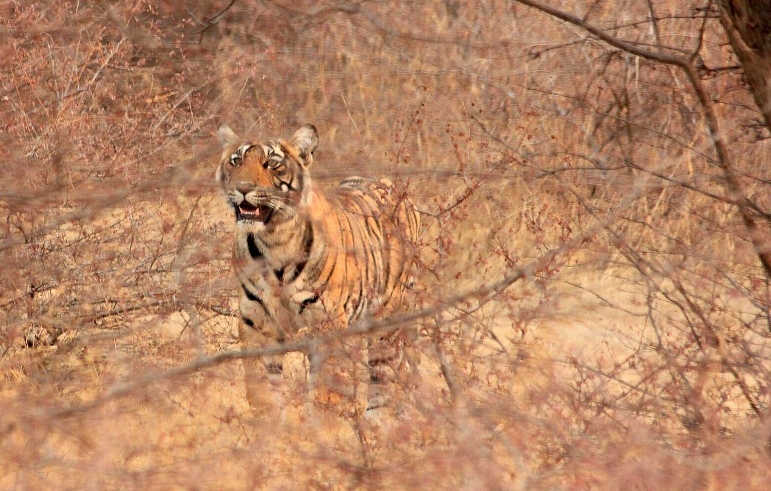 A tiger in the woodland area of Ranthambhore National Park
