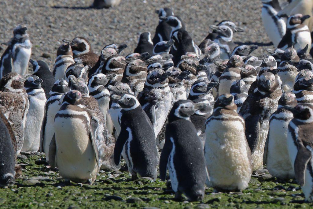 Magellanic penguins on Agentinas Valdes Peninsula