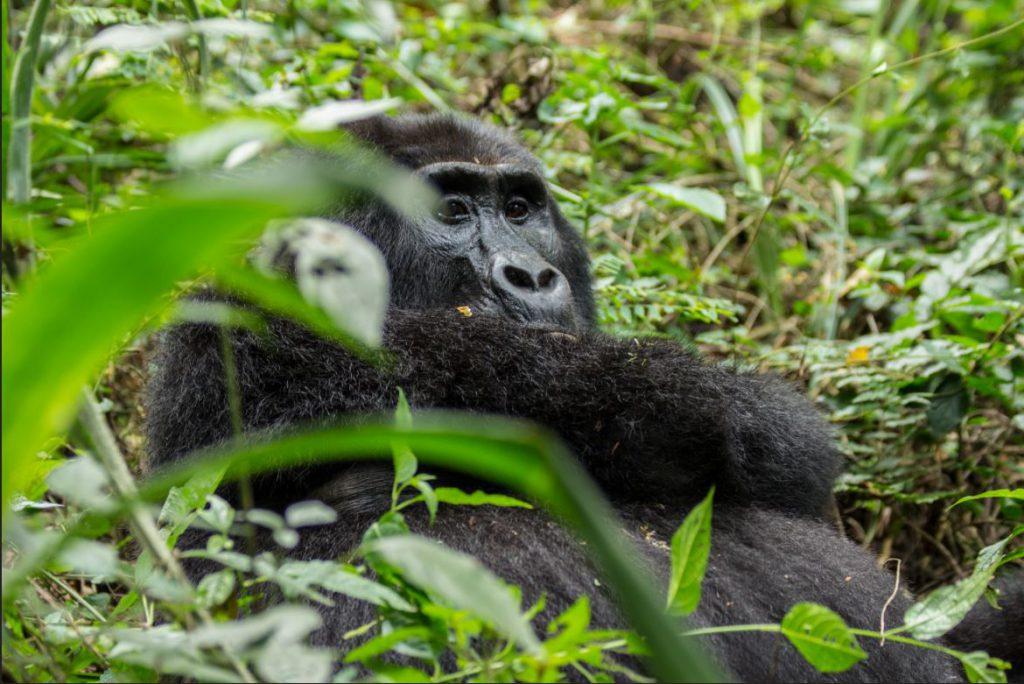 A Gorilla in Uganda