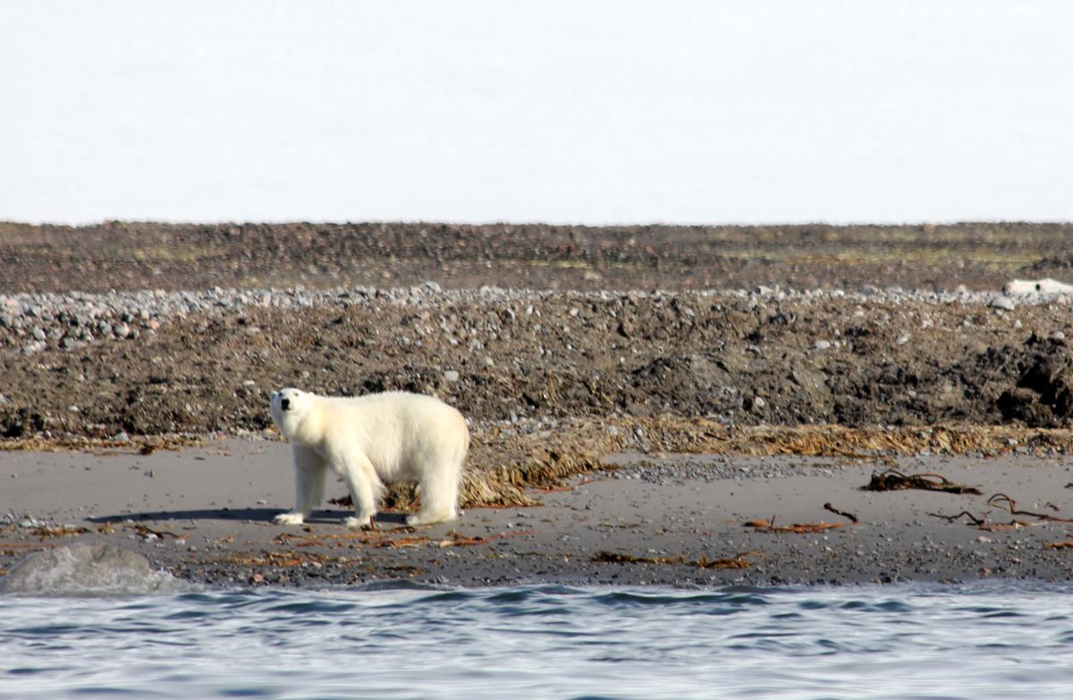 polar bear encounter on an arctic wildlife cruise