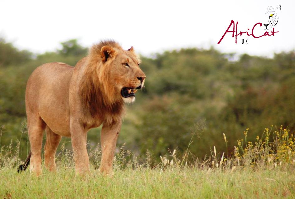 Africat, proetcting big cats in Namibia