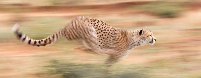 cheetah running in Namibia