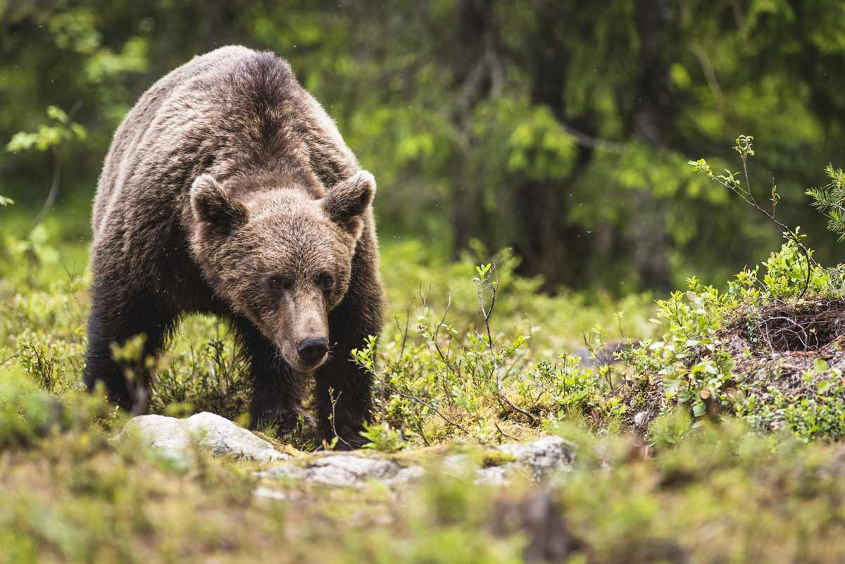 Bear copyright tom-mason