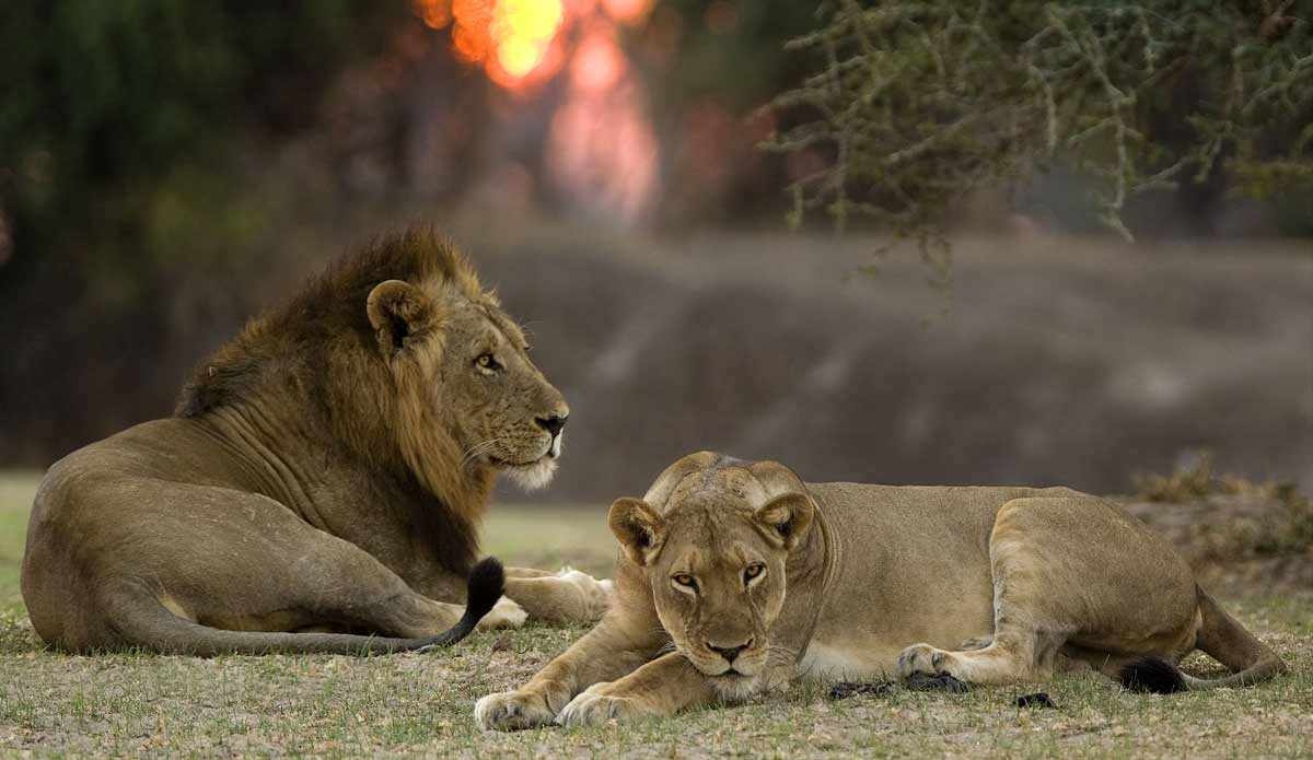 lions on an African safari