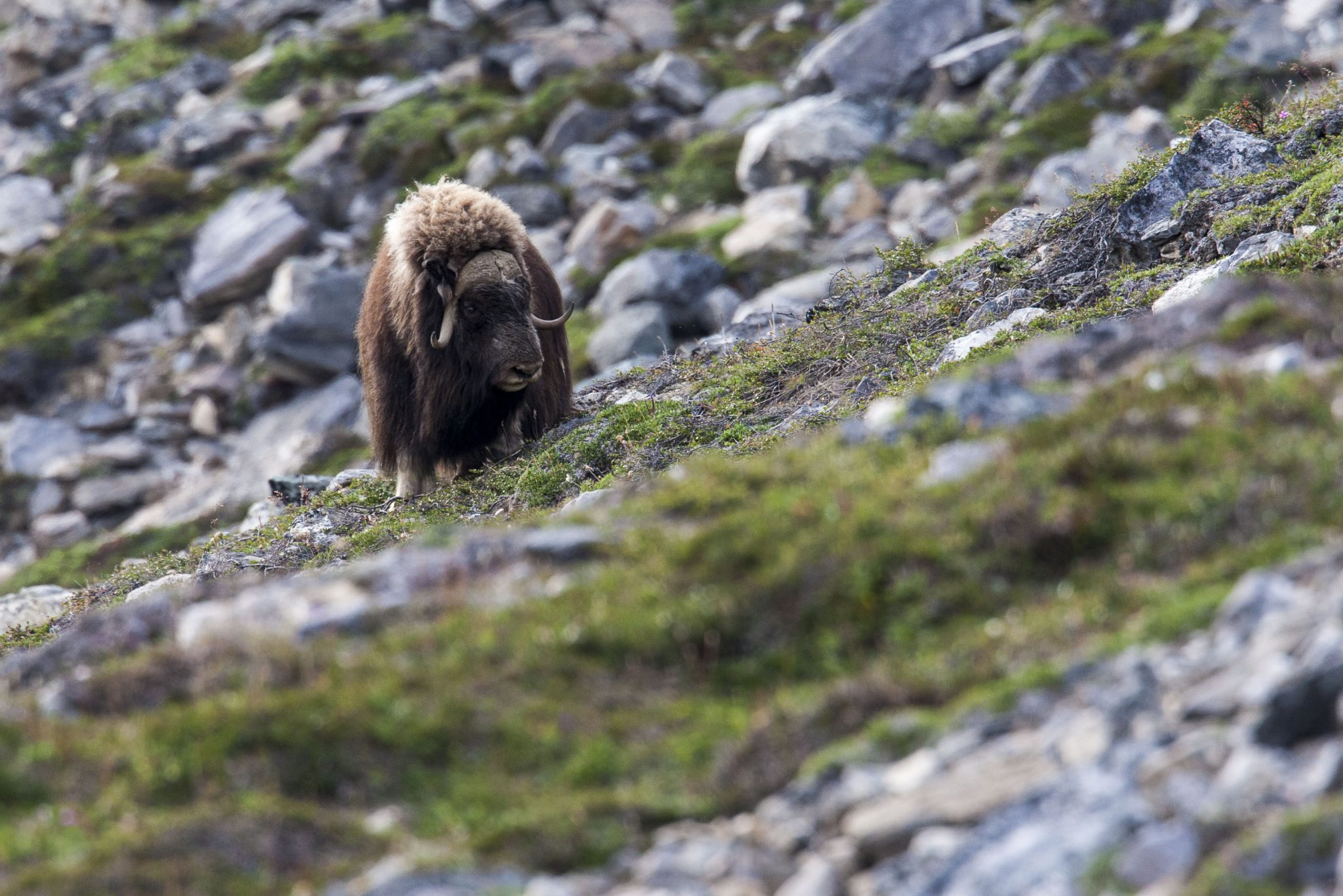 Musk Oxen in Greenland - copyright north winds photography