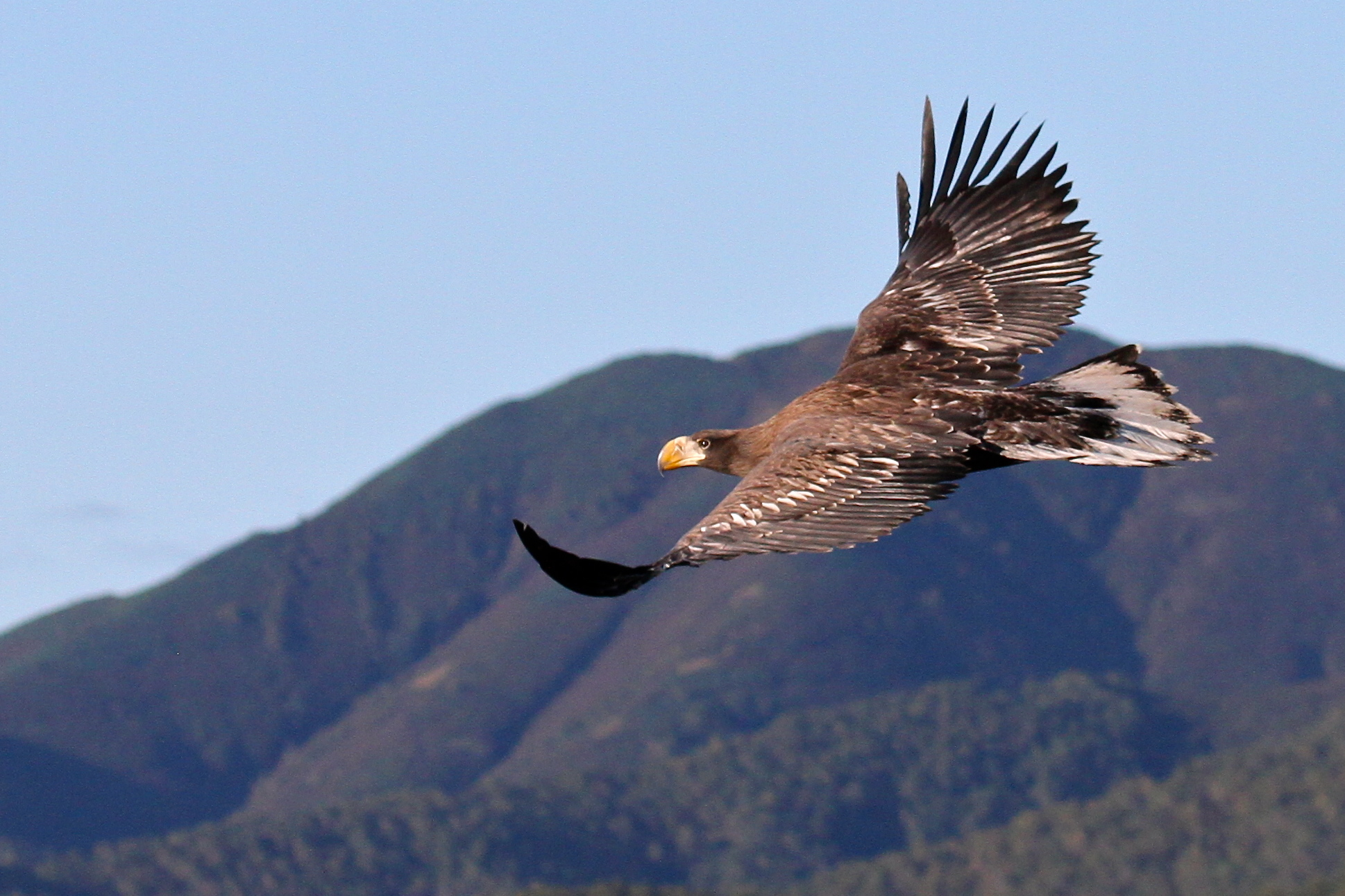 Steller's sea eagle -Copyright Mike Unwin