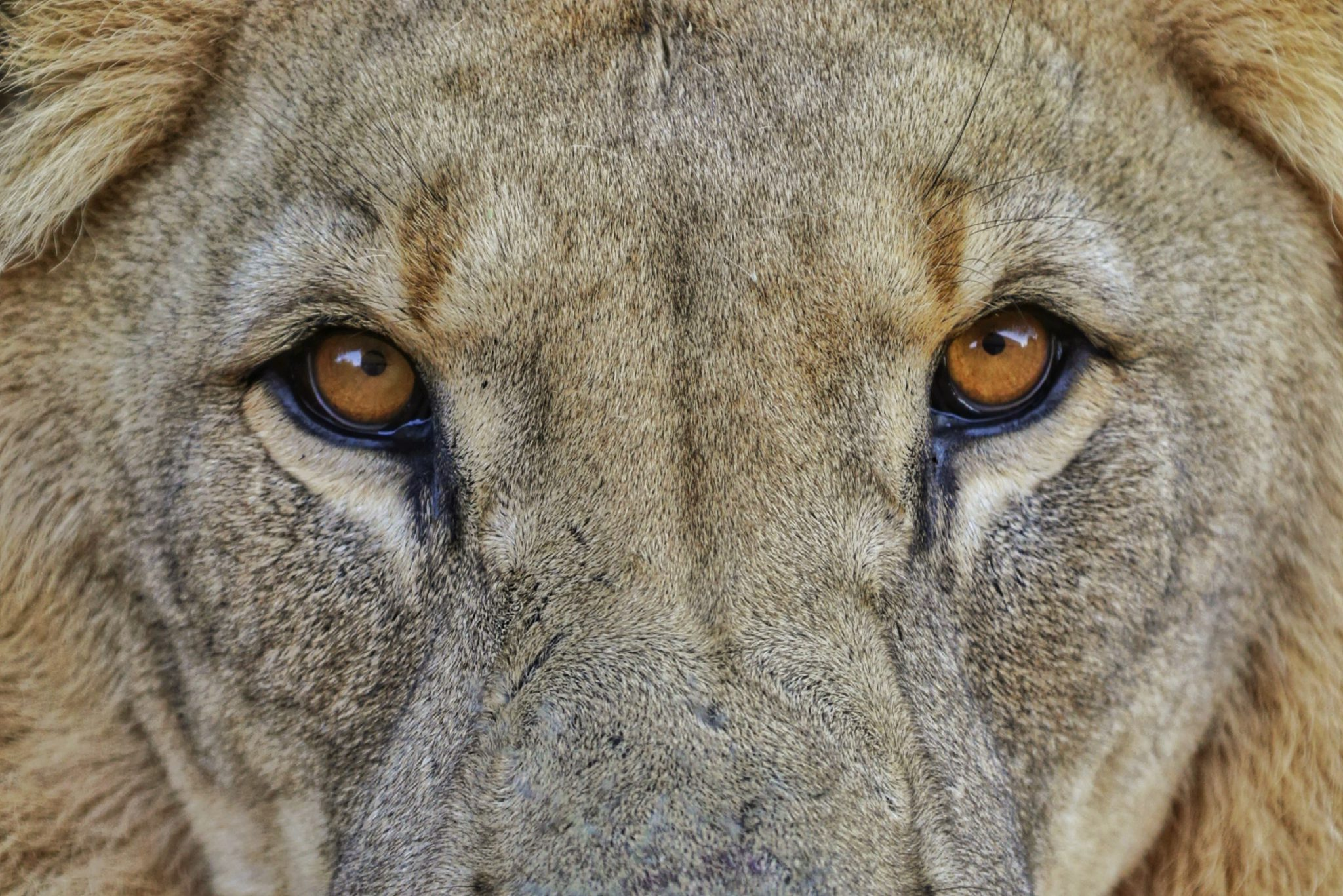africat foundation lion eyes