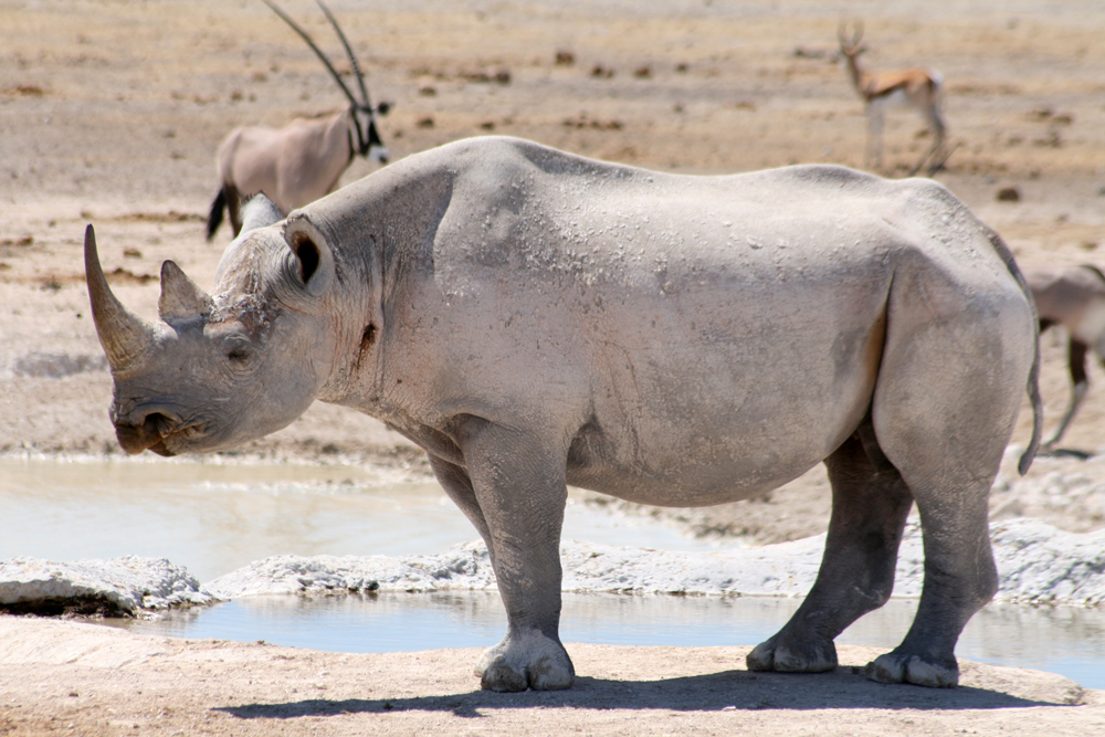 Rhino in ongava lodge Etosha National Park