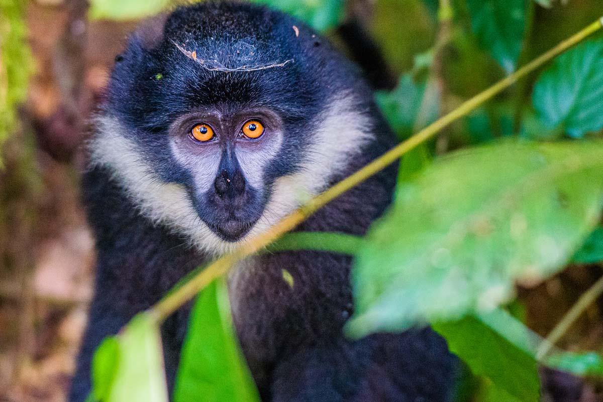 Monkey in Uganda