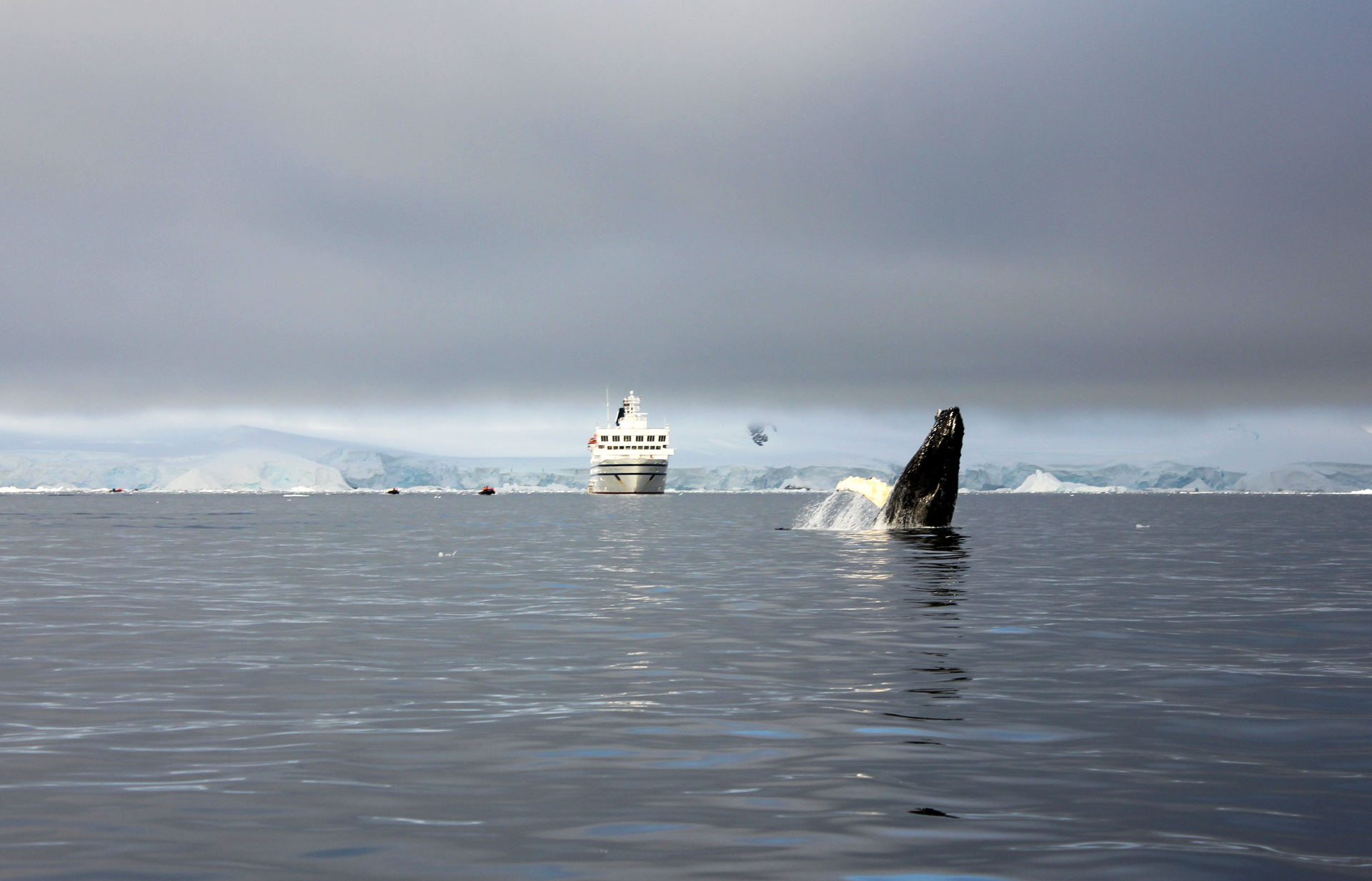 Whale Breaching In Antarctica