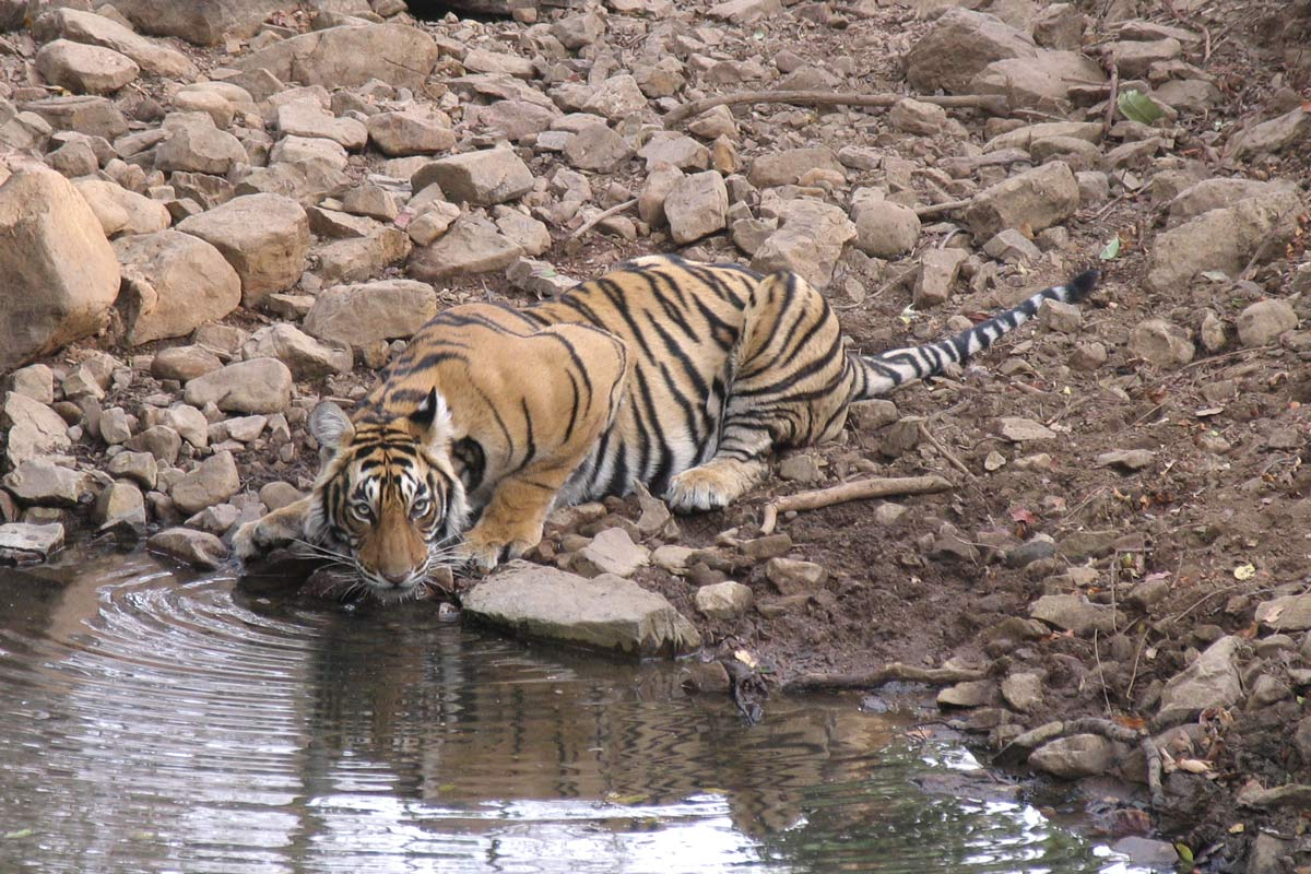 tiger in india drinking from a pool