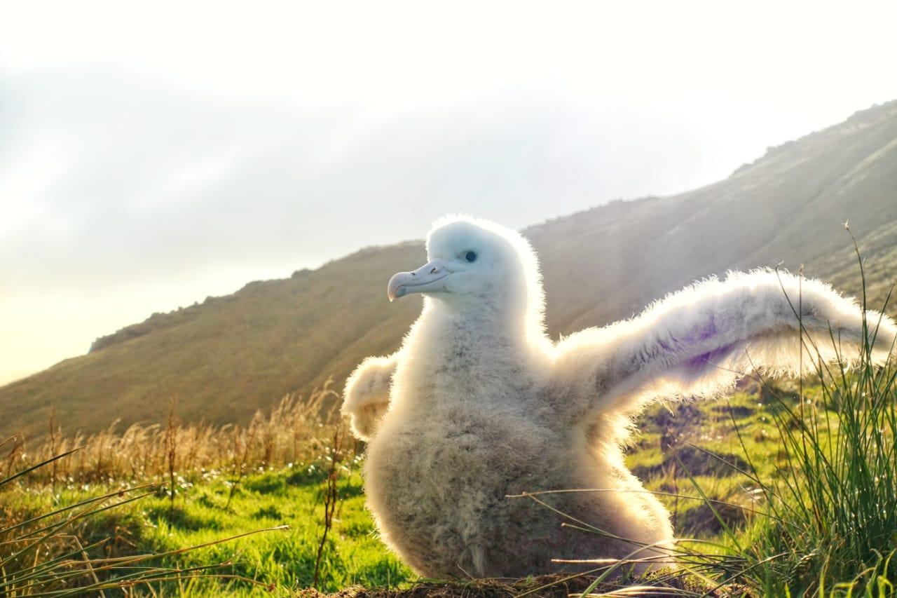 A Tristan Albatross Chick