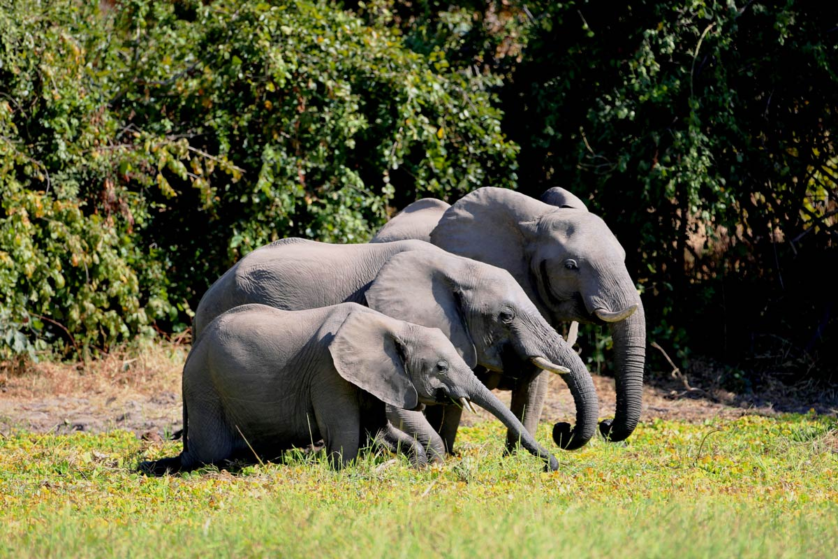 african elephants in Botswana