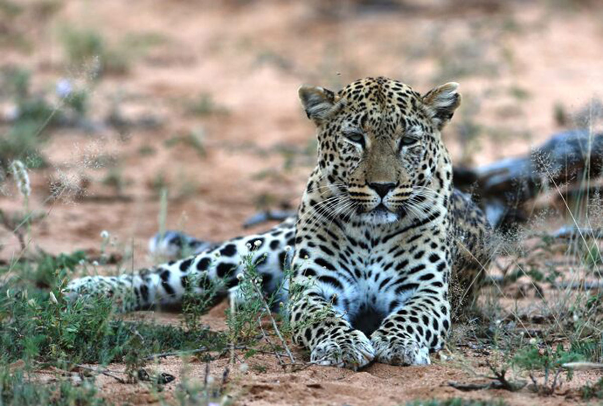 leopards in Botswana