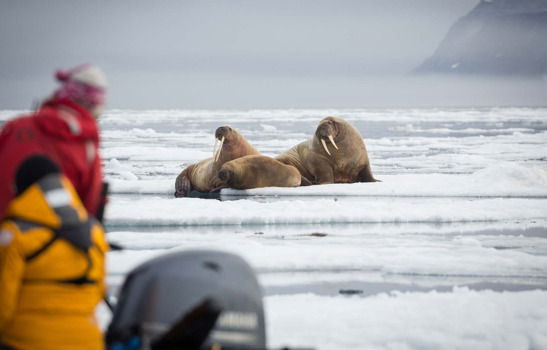 Walrus in the high arctc